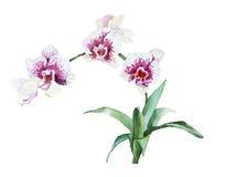 Orchidee sboccianti del ramo dell'acquerello Immagine Stock Libera da Diritti