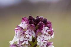 Orchidee selvatiche della Svezia Fotografia Stock Libera da Diritti