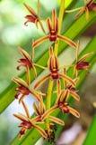 Orchidee selvatiche in foresta della Tailandia Immagini Stock