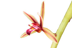 Orchidee selvatiche in foresta della Tailandia Fotografia Stock