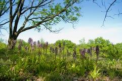 Orchidee selvatiche in prato Fotografia Stock Libera da Diritti
