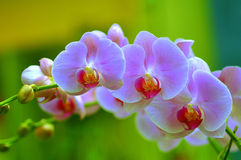 Orchidee-Sonate Lizenzfreies Stockbild