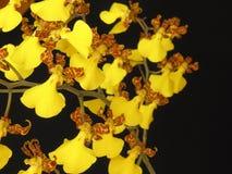 Orchidee: Splendidum van Oncidium stock foto's