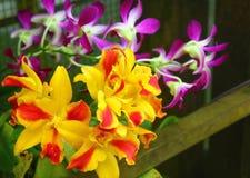 Orchidee-Strybing Arboreto-San Francisco Botanical Garden Fotografia Stock