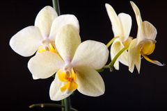 Orchidee sul nero Fotografia Stock Libera da Diritti