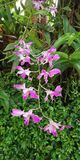 Orchidee Superbien ist schön und Bezaubern lizenzfreies stockfoto