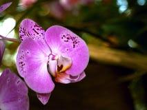 Orchidee - thailändische Blume - thailändische Orchidee Lizenzfreies Stockfoto