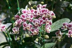 Orchidee tropicali delle orchidee bianche e porpora Fotografie Stock Libere da Diritti