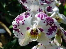 Orchidee tropicali delle orchidee bianche e porpora Immagine Stock