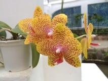 Orchidee van Brazilië Royalty-vrije Stock Foto