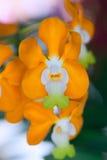 Orchidee van Thailand Stock Afbeelding