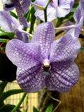 Orchidee Vanda Royalty-vrije Stock Afbeelding