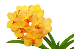 Orchidee Vanda Royalty-vrije Stock Fotografie