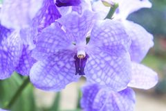 Orchidee (Vanda) obraz stock