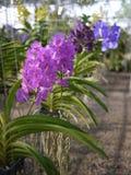 Orchidee variopinte in azienda agricola fotografie stock libere da diritti