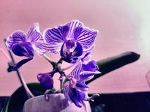 Orchidee in vaso Fotografie Stock Libere da Diritti