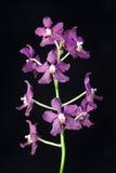 Orchidee in vaso orientale sul nero Immagine Stock Libera da Diritti