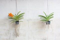 Orchidee verdi sviluppate in vasi di plastica che appendono sulle pareti d'annata fotografia stock
