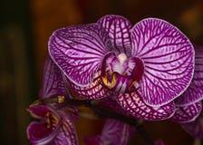 Orchidee viola Fotografia Stock Libera da Diritti