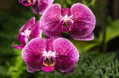 Orchidee viola Immagine Stock