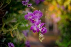 Orchidee viola immagine stock libera da diritti