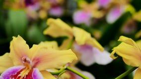 orchidee Viola-gialle La macchina fotografica si spost indietroare sul cursore Correzione di colore archivi video