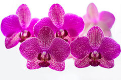 Orchidee viola sui precedenti bianchi Immagine Stock Libera da Diritti