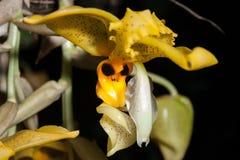 Orchidee von Costa Rica Lizenzfreies Stockfoto