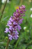 Orchidee von Wiesen (Gymnadenia conopsea) Stockfotografie