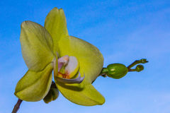 ORCHIDEE Royalty Free Stock Photos
