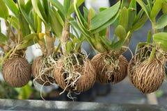 Orchidee w wysuszonej kokosowej skorupie Fotografia Stock