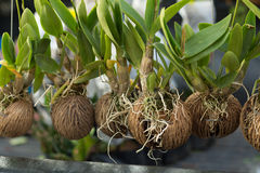 Orchidee w wysuszonej kokosowej skorupie Obraz Royalty Free