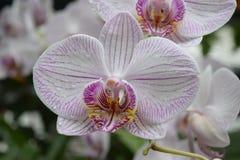 Orchidee in witte en roze kleurenphalaenopsis Royalty-vrije Stock Fotografie