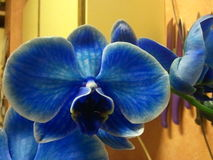 Orchidee. Wonderfull Blue Orchidee at living home Stock Photos