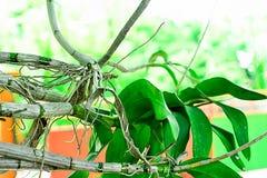 Orchidee wurzelt heraus sogar ohne Boden lizenzfreie stockbilder