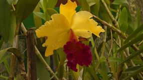 Orchidee yello Stockfotos