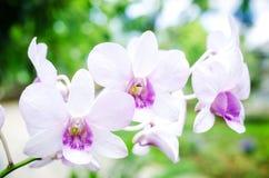 Orchidee z zielonym liścia tłem Obraz Stock