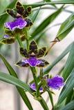 Orchidee, Zygopetalum Adelaide Charmer x Dynamo stock fotografie