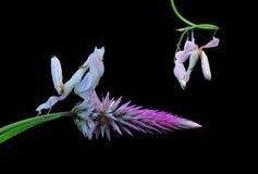 Orchideebidsprinkhanen, Bidsprinkhanenorchidee Royalty-vrije Stock Afbeeldingen