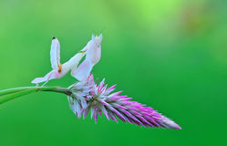 ORCHIDEEbidsprinkhanen, BIDSPRINKHANENorchidee, Royalty-vrije Stock Foto's