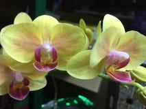 Orchideebloei Stock Foto