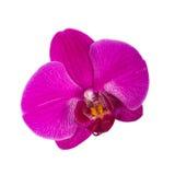 Orchideebloem Stock Afbeeldingen