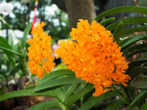 Orchideebloem in de tuin Royalty-vrije Stock Afbeeldingen