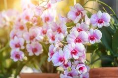 Orchideebloem in de tuin bij de winter of de lentedag Royalty-vrije Stock Fotografie