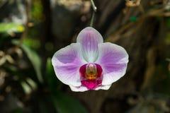 Orchideebloem in de tuin, de aardachtergrond of het behang Stock Foto's