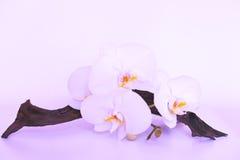 Orchideebloem in lilac purpere kleuren Royalty-vrije Stock Afbeeldingen