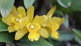 Orchideebloem in orchideetuin bij de winter of de lentedag De orchidee van Cattleya stock video