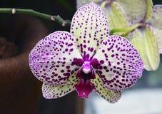 Orchideebloem in tropische tuin De bloem van de Phalaenopsisorchidee het groeien op Tenerife, Canarische Eilanden Royalty-vrije Stock Afbeeldingen