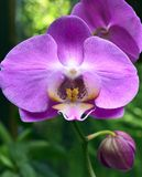 Orchideebloem in tropische tuin De bloem van de Phalaenopsisorchidee het groeien op Tenerife, Canarische Eilanden Royalty-vrije Stock Afbeelding