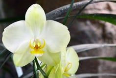 Orchideebloem in tropische tuin De bloem van de Phalaenopsisorchidee het groeien op Tenerife, Canarische Eilanden Stock Afbeelding